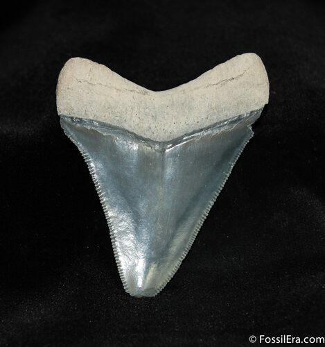 Glossy 2.4 Inch Bone Valley Megalodon Tooth