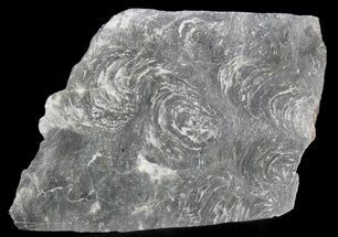"7.3"" Polished Stromatolite (Minjaria) - Russia - 800 Million Years For Sale, #41846"