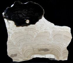"5.4"" Polished Stromatolite (Collumnacollenia) - Russia For Sale, #41849"