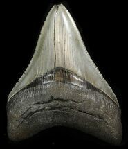 "Buy Serrated, Glossy, 3.80"" Megalodon Tooth - South Carolina - #41806"
