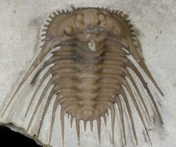 "Beautiful, .95"" Kettneraspis Trilobite - Oklahoma For Sale, #42248"