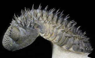 "Top Quality Spiny Drotops Armatus Trilobite - 6.1"" For Sale, #42257"