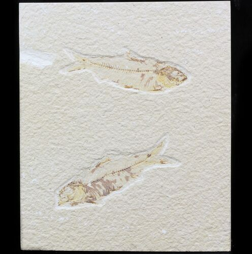 "Multiple Knightia Fossil Fish Plate - 5.3""x6.2"""