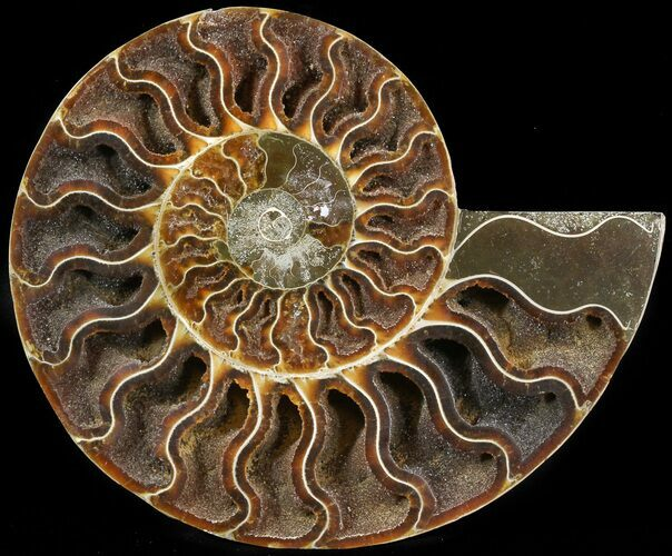 "6.3"" Cut Ammonite Fossil (Half) - Agatized"