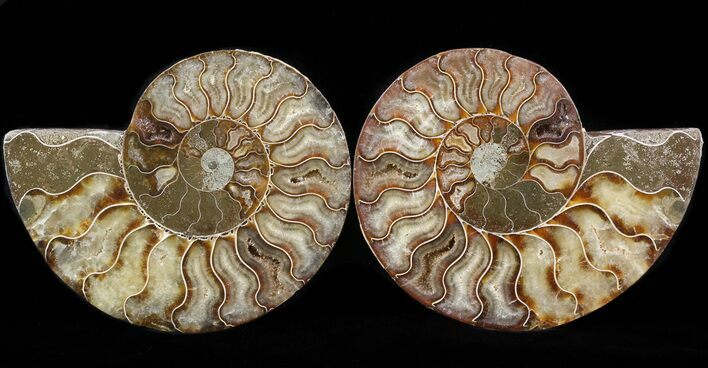 "5.1"" Cut & Polished Ammonite Fossil - Crystal Pockets"