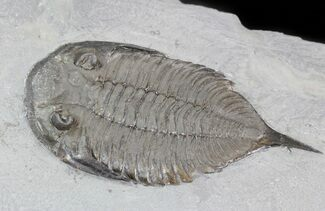 Dalmanites limulurus - Fossils For Sale - #42687