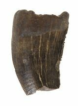 "Buy .65"" Partial Tyrannosaur Tooth - Montana - #42907"