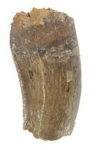 "1.02"" Tyrannosaur Tooth Fragment - Montana For Sale, #42911"