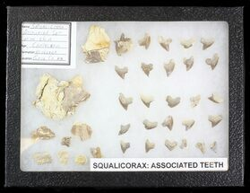 Buy 27 Associated Squalicorax Teeth With Fossil Skin - Kansas - #42976