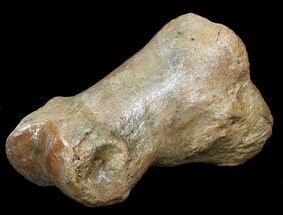 "3.2"" Ice Age Bison Metatarsal (Toe Bone) - North Sea Deposits For Sale, #43139"