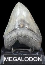 "Buy Glossy, Serrated, 4.65"" Megalodon Tooth - South Carolina - #43018"
