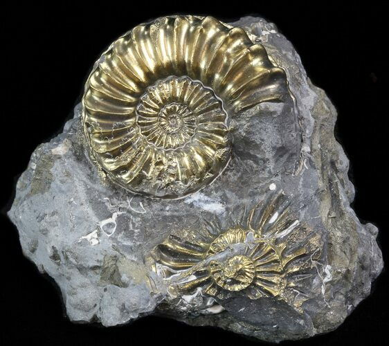 Pyritized Pleuroceras Ammonite Cluster - Germany