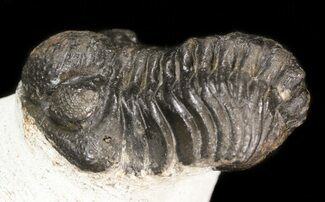 "Bargain 2"" Barrandeops Trilobite - Morocco For Sale, #43466"