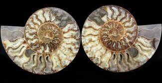 Cleoniceras cleon - Fossils For Sale - #43638