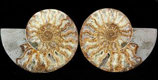 Cleoniceras cleon - Fossils For Sale - #43641