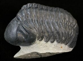 "Buy 2"" Reedops Trilobite On Pedestal Of Rock - #43516"