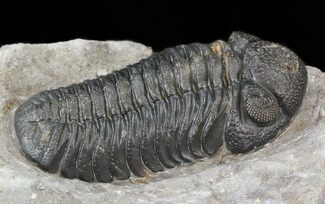 "2.35"" Prone Barrandeops Trilobite - Nice Preparation For Sale, #43517"