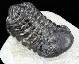 "Bargain 2"" Austerops Trilobite - Morocco For Sale, #43505"