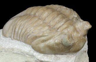 Asaphus lepidurus - Fossils For Sale - #43677