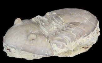 Homotelus bromidensis - Fossils For Sale - #43806