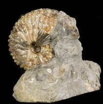 "Buy 1.9"" Hoploscaphites Nebrascensis Ammonite - South Dakota - #43933"