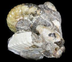 Hoploscaphites Ammonite Cluster - South Dakota For Sale, #44048