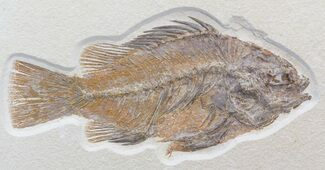 "Large 8.6"" Priscacara Serrata Fossil Fish - Wyoming For Sale, #44540"