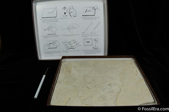 Prepare Your Own Fossil Fish Kit (A Grade)