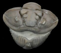 Buy Enrolled Flexicalymene Trilobite - Ohio - #45052