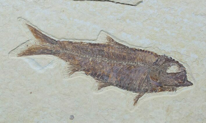 Beautiful Knightia Fish Fossil - 3.8""