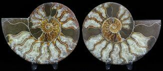 Cleoniceras cleon - Fossils For Sale - #45483