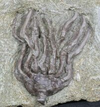 "1.5"" Dizygocrinus Crown Crinoid Fossil - Warsaw Formation, Illinois For Sale, #45569"