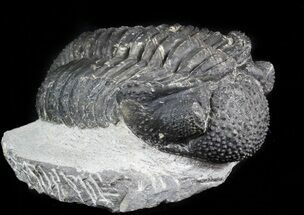 "Buy 4.45"" Bumpy Drotops Trilobite - Issoumour, Morocco (Reduced Price) - #45610"