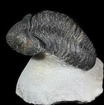 Drotops megalomanicus - Fossils For Sale - #45612