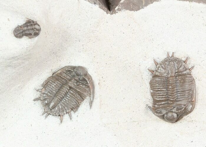 Two Basseiarges Trilobites With Cyphaspis - Jorf, Morocco
