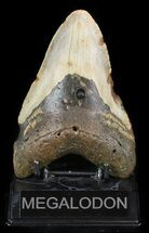 "Bargain, 5.23"" Megalodon Tooth - North Carolina For Sale, #47198"