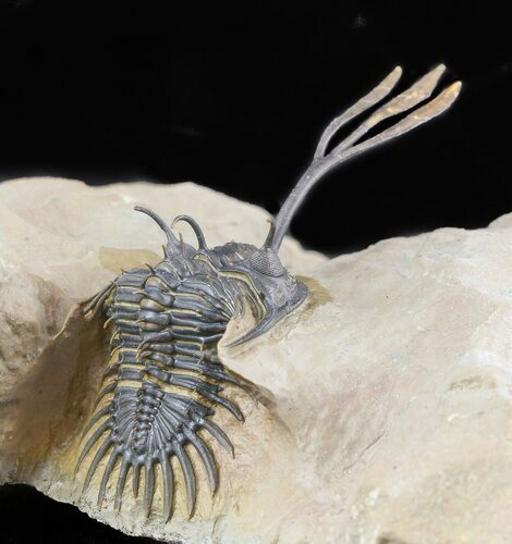 Superbly Prepared Walliserops Trilobite With Diademaproetus