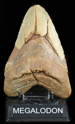 "Massive, 6.02"" Megalodon Tooth - North Carolina"
