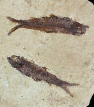 Buy Fossil Fish (Knightia) Multiple Plate - Wyoming - #47527
