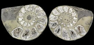 "1.4"" Pyritized Ammonite Fossil Pair For Sale, #48071"