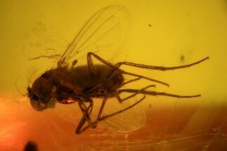 Buy Detailed Fossil Fly (Diptera) In Baltic Amber - #48220