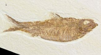 "Buy 4.5"" Knightia Fossil Fish - Wyoming - #48181"