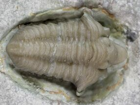 "Rare, .8"" Snout-Nosed Spathacalymene Trilobite - Indiana For Sale, #23288"