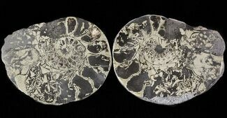 "Buy 1.7"" Pyritized Ammonite Fossil Pair - Cyber Monday Deal! - #48082"