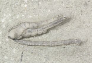 Small Halysiocrinus Crinoid - Crawfordsville, Indiana For Sale, #48455