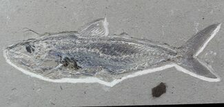 Halec microlepis - Fossils For Sale - #48516