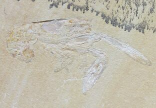 "2.4"" Fossil Lobster (Pseudostacus) & Crab (Geryon) - Lebanon For Sale, #48521"