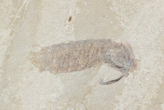 "3/4"" Fossil Mantis Shrimp (Sculda syriaca) - Lebanon For Sale, #48539"