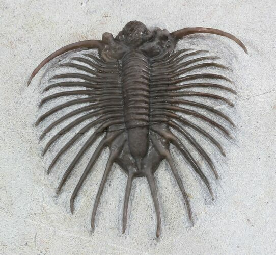 Unidentified Lichid Trilobite From Jorf - Very Rare