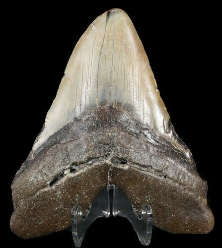 "Bargain, 5.01"" Megalodon Tooth - North Carolina"